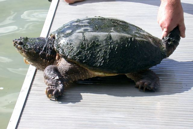 Common Snapping Turtle (adult) photo #2
