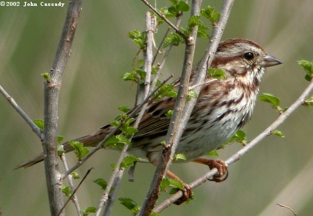 Song Sparrow Photo 3