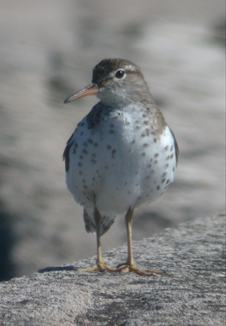 Spotted Sandpiper Photo 5