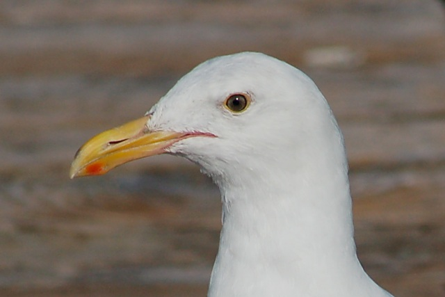 Western Gull (3rd year) photo #3