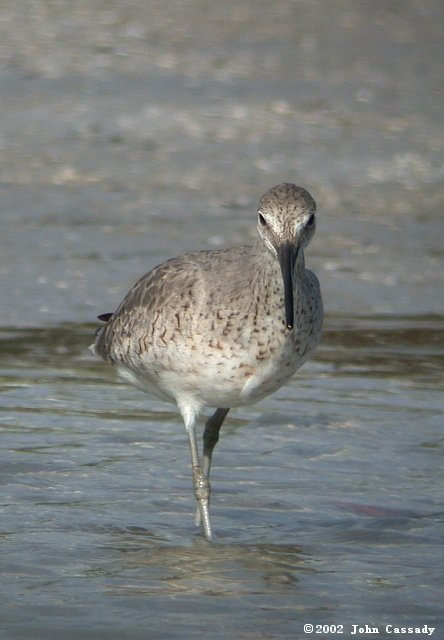 Willet (Spring adult) photo #2