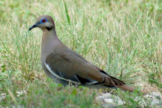 White-winged Dove photo #2