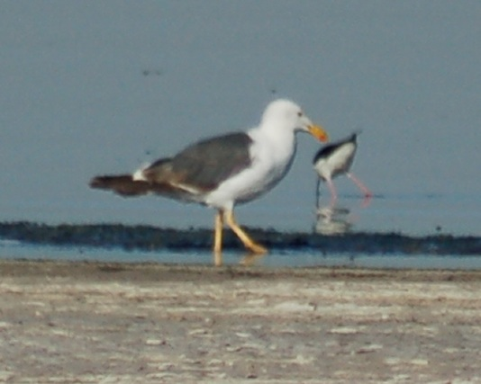 Yellow-footed Gull (3rd Summer) photo #2