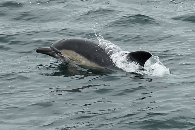 Common Dolphin photo #1