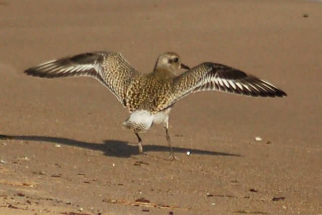 Black-bellied Plover (fresh juvenile) photo #5