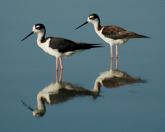 Black-necked Stilt photo #1