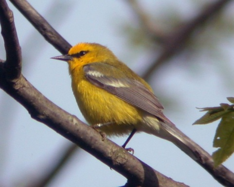 Blue-winged Warbler photo #3