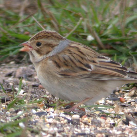 Clay-colored Sparrow photo #4