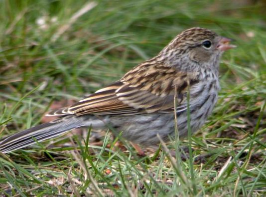 Chipping Sparrow (juvenile) photo #1