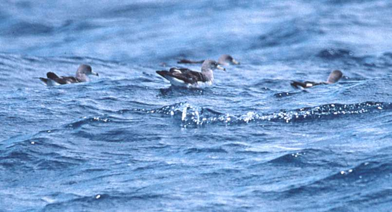 Cory's Shearwater photo #2