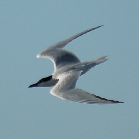 Gull-billed Tern photo #3