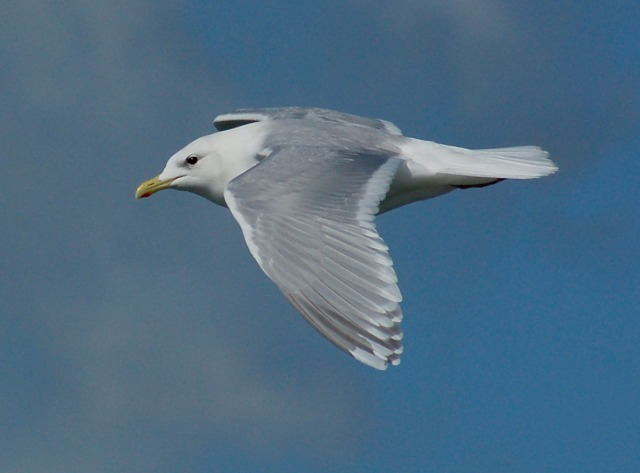 Iceland Gull - adult