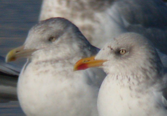 Lesser Black-backed Gull Gull Photo 3