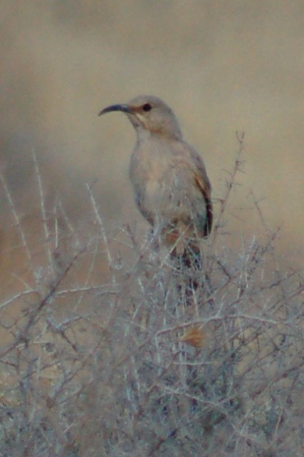 Le Conte's Thrasher photo #1