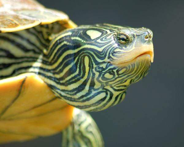 Map Turtle photo #1