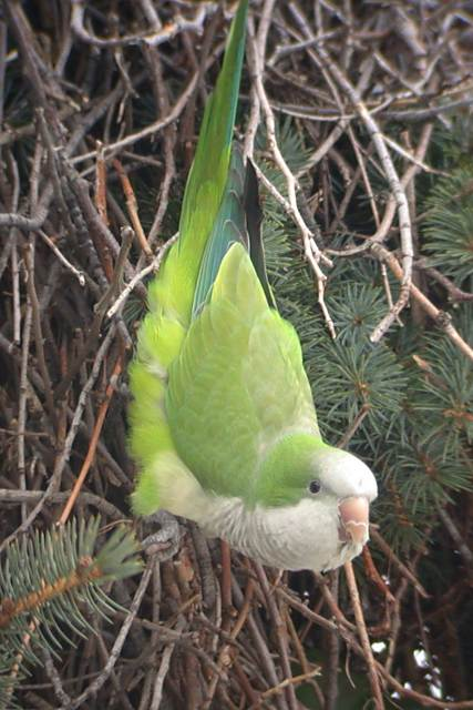 Monk Parakeet Photo 1