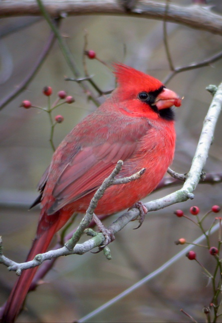 Northern Cardinal Photo #3