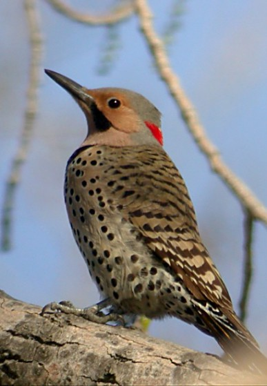 Northern Flicker Photo 1