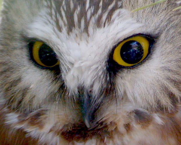 Northern Saw-whet Owl photo #3