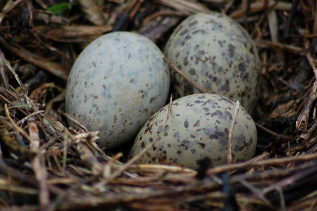 Ring-billed Gull nest with eggs