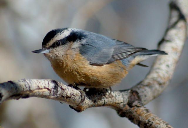 Red-breasted Nuthatch photo #2