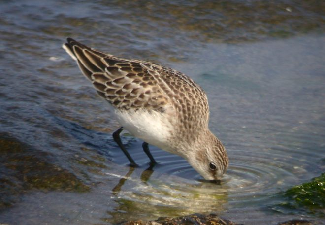 Semipalmated Sandpiper (juvenile) photo #2