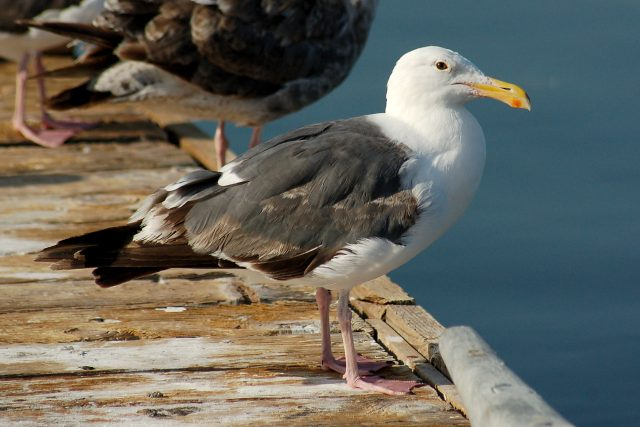 Western Gull (3rd year) photo #1