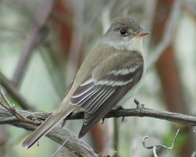 Willow Flycatcher photo #1