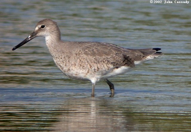 Willet (Spring adult)photo #1