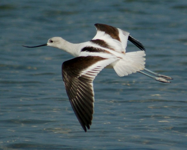 American Avocet (basic plumage)