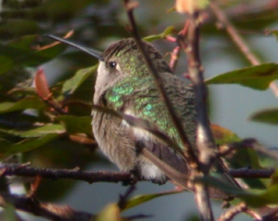 Black-chinned Hummingbird photo #3