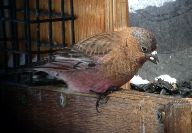 Brown-capped Rosy-finch Photo 2