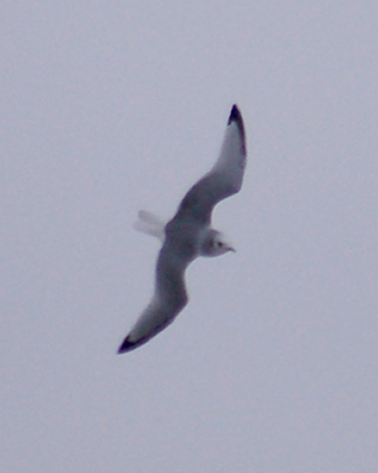 Black-legged Kittiwake photo #2