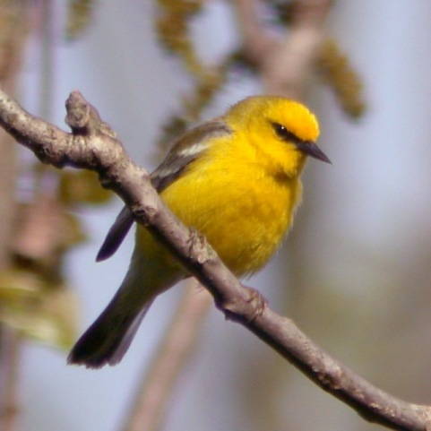 Blue-winged Warbler photo #2
