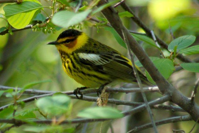 Cape May Warbler (spring male)