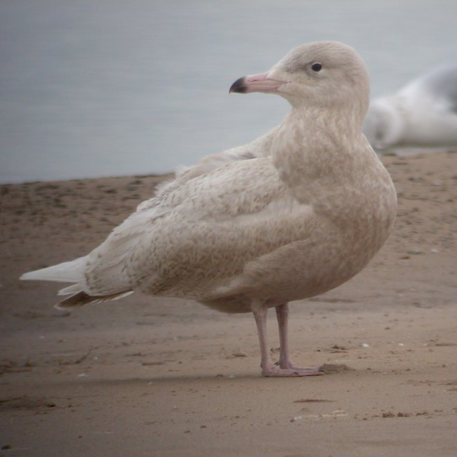 Glaucous Gull (first cycle) photo #6