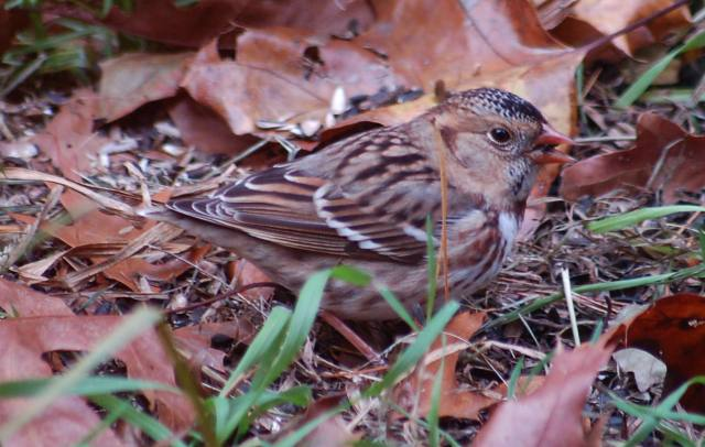 Harris's Sparrow (immature)
