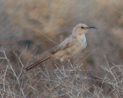 Le Conte's Thrasher photo #3