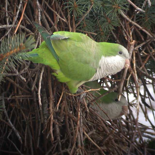 Monk Parakeet Photo 2