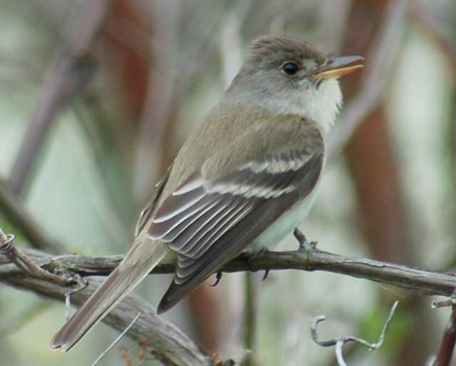 Willow Flycatcher photo #2