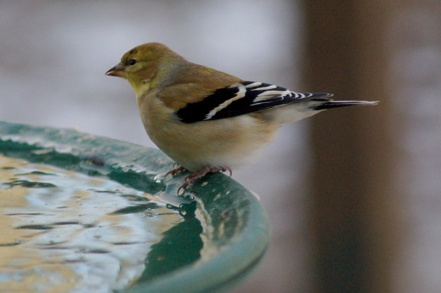 American Goldfinch  photo #5