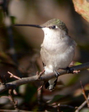 Black-chinned Hummingbird photo #2