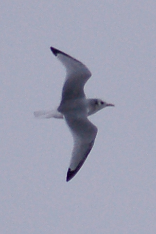 Black-legged Kittiwake photo #1