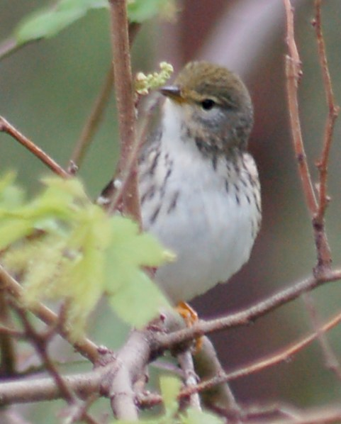 Blackpoll Warbler (spring adult female)