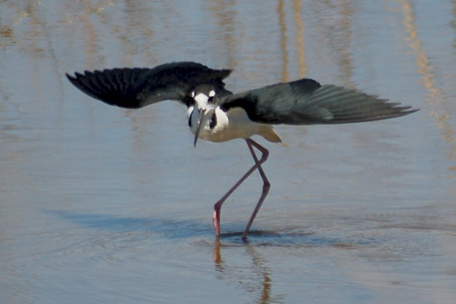 Black-necked Stilt photo #2