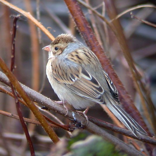 Clay-colored Sparrow photo #1