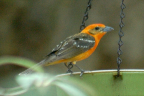 Flame-colored Tanager (adult male)