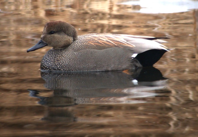 Gadwall Photo 4