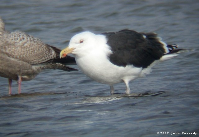 Great Black-backed Gull Photo 2