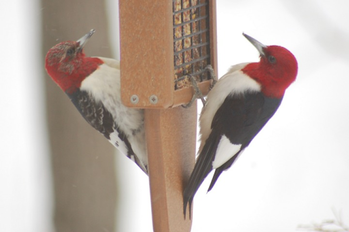 Red-headed Woodpecker photo #7